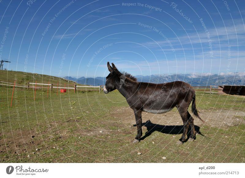 Schlauer Fuchs und dummer Natur grün blau Einsamkeit Gras Berge u. Gebirge Umwelt Felsen stehen Alpen Weide Tier Treue Blauer Himmel Esel Tierliebe