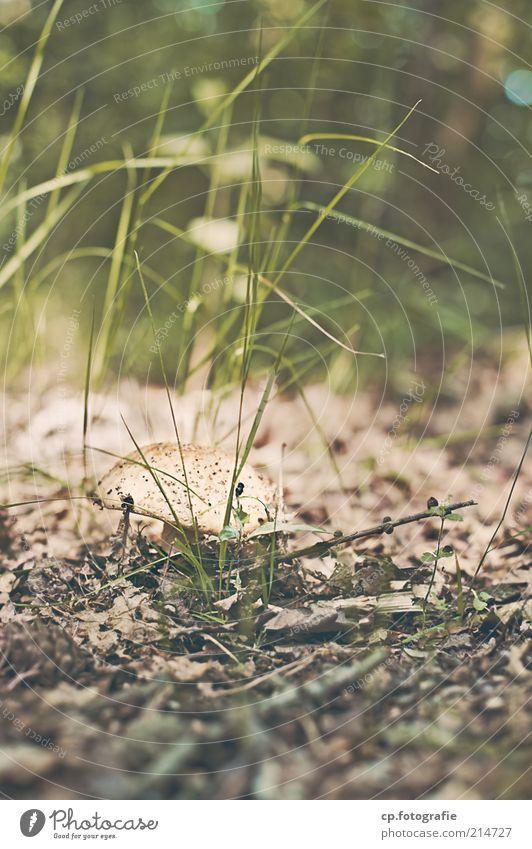 Einer von vielen Speisepilz Umwelt Natur Pflanze Erde Sommer Herbst Schönes Wetter Gras Grünpflanze Wildpflanze Pilz Wiese Wald natürlich Außenaufnahme Tag