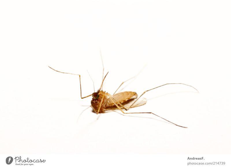 Die schläft nur Umwelt Tier Totes Tier Fliege 1 liegen Stechmücke Insekt Insektenstich Tod Stachel Sommer auf dem Rücken Totschlag Freisteller Farbfoto