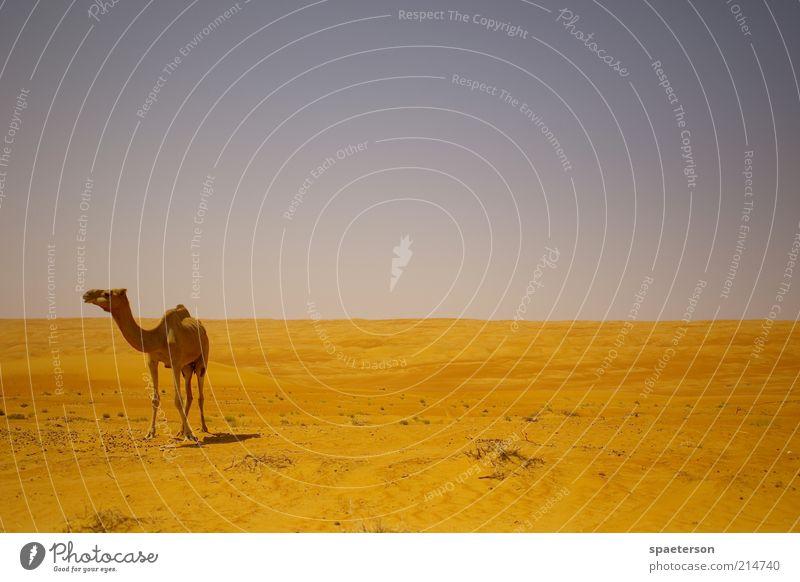 camel missing a trophy Freiheit Sommer Landschaft Sand Luft Schönes Wetter Wärme Wüste Nutztier 1 Tier beobachten Blick warten heiß hell blau gold Zufriedenheit