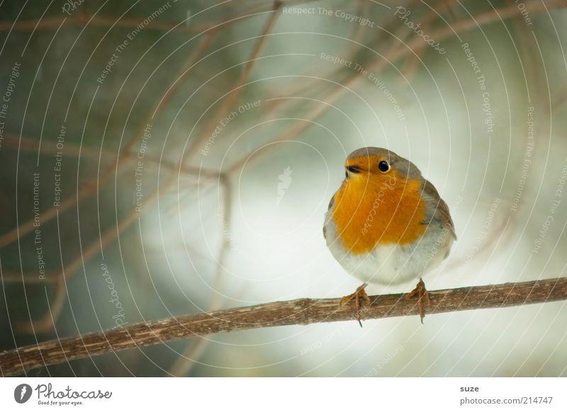 Hier is das Vögelchen Natur Baum rot Tier Winter klein Vogel sitzen Wildtier warten niedlich Feder Ast Jahreszeiten Zweig Heimat