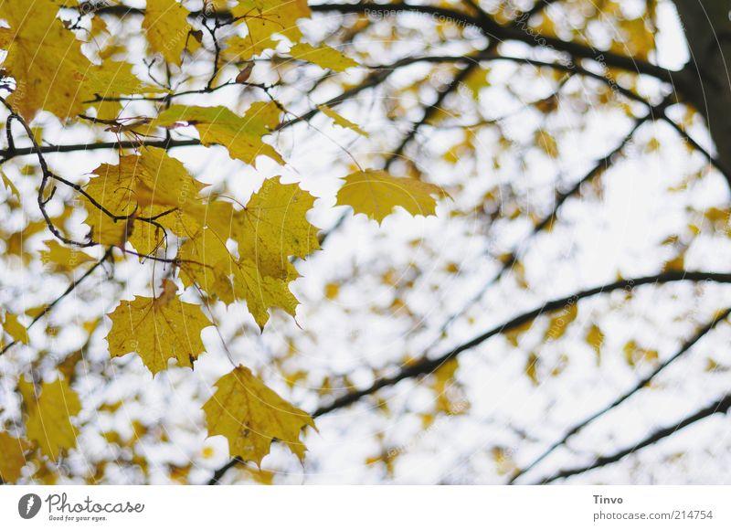 Herbstklang Baum Blatt gelb schwarz Natur Vergänglichkeit Wandel & Veränderung Herbstlaub Jahreszeiten Ahorn Ahornblatt Zweige u. Äste Farbfoto Außenaufnahme