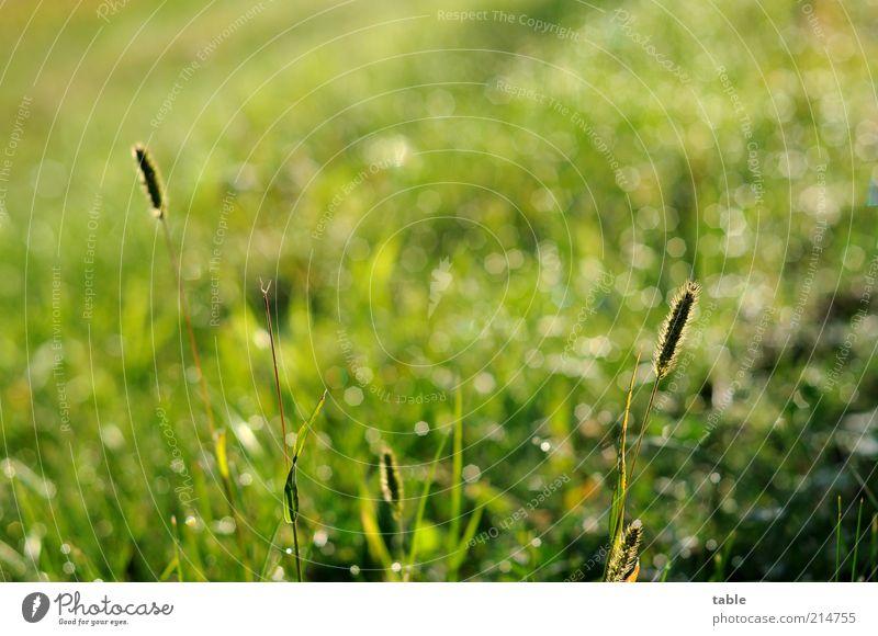 Morgengrün Natur Pflanze Wiese Gras Regen glänzend Umwelt nass Wassertropfen Wachstum leuchten feucht Tau Halm Schönes Wetter