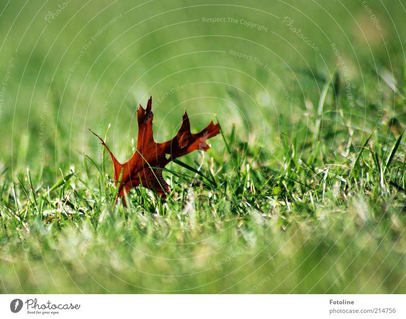 gefallen Umwelt Natur Pflanze Urelemente Herbst Blatt Wiese hell natürlich trocken Eichenblatt vertrocknet grün braun Farbfoto mehrfarbig Außenaufnahme