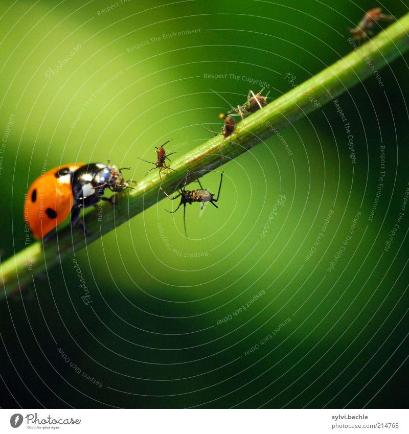 Der Hunger treibt´s rein ... Natur Tier Pflanze Gras Wildtier Fressen krabbeln sitzen grün rot Überleben Appetit & Hunger Marienkäfer Blattläuse saugen Stengel