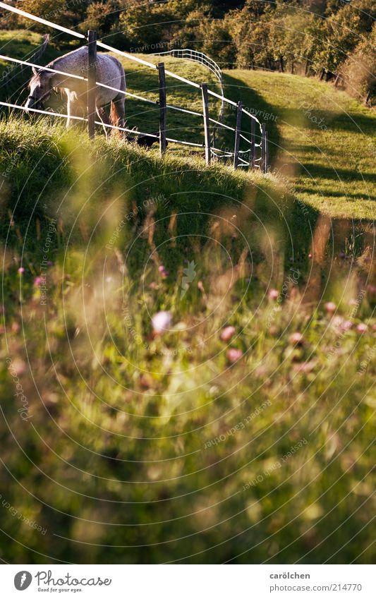 Koppellandschaft Landschaft Wiese Tier Nutztier Pferd 1 gold grün Weide Zaun Fressen Hügel Farbfoto Außenaufnahme Menschenleer Textfreiraum unten Tag Dämmerung