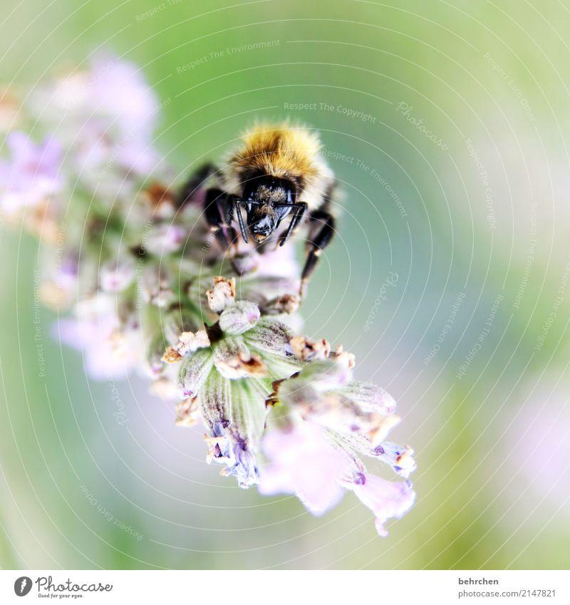 alien... Natur Pflanze Tier Sommer Schönes Wetter Blume Blatt Blüte Lavendel Garten Park Wiese Nutztier Biene Tiergesicht Flügel 1 Blühend Duft fliegen Fressen
