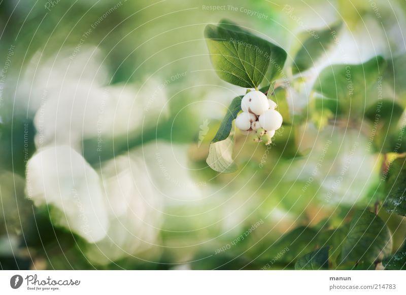 Schneebeeren Natur Pflanze Sträucher Blatt Blüte Grünpflanze Wildpflanze herbstlich Herbst leuchten Wachstum ästhetisch hell schön Farbfoto Außenaufnahme Tag