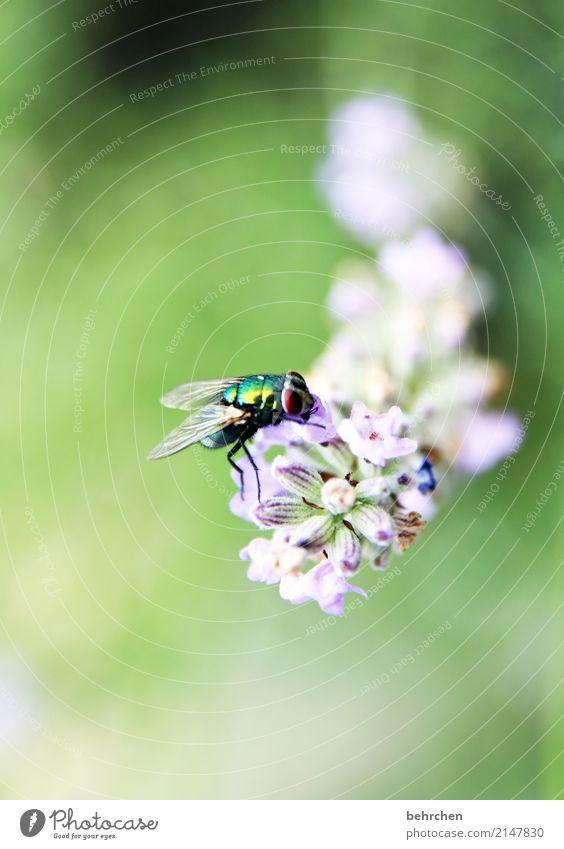 unscheinbares detail | fliege auf lavendel Natur Pflanze Tier Sommer Blume Blatt Blüte Lavendel Garten Park Wiese Wildtier Fliege Tiergesicht Flügel 1 Blühend