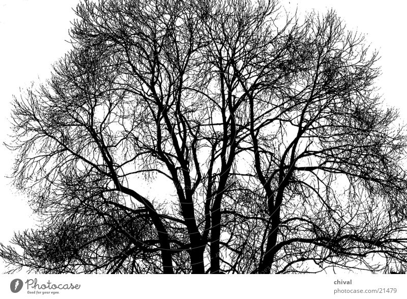 Baum im Winter Ast Zweig Kontrast schwarzeeiss