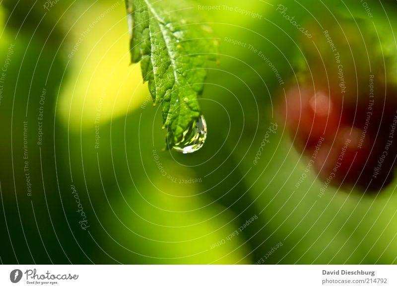Klarer am Himbeerstrauch Leben harmonisch ruhig Natur Pflanze Wasser Wassertropfen Sommer Sträucher Blatt Wildpflanze gelb grün rot Himbeeren nass feucht Tau
