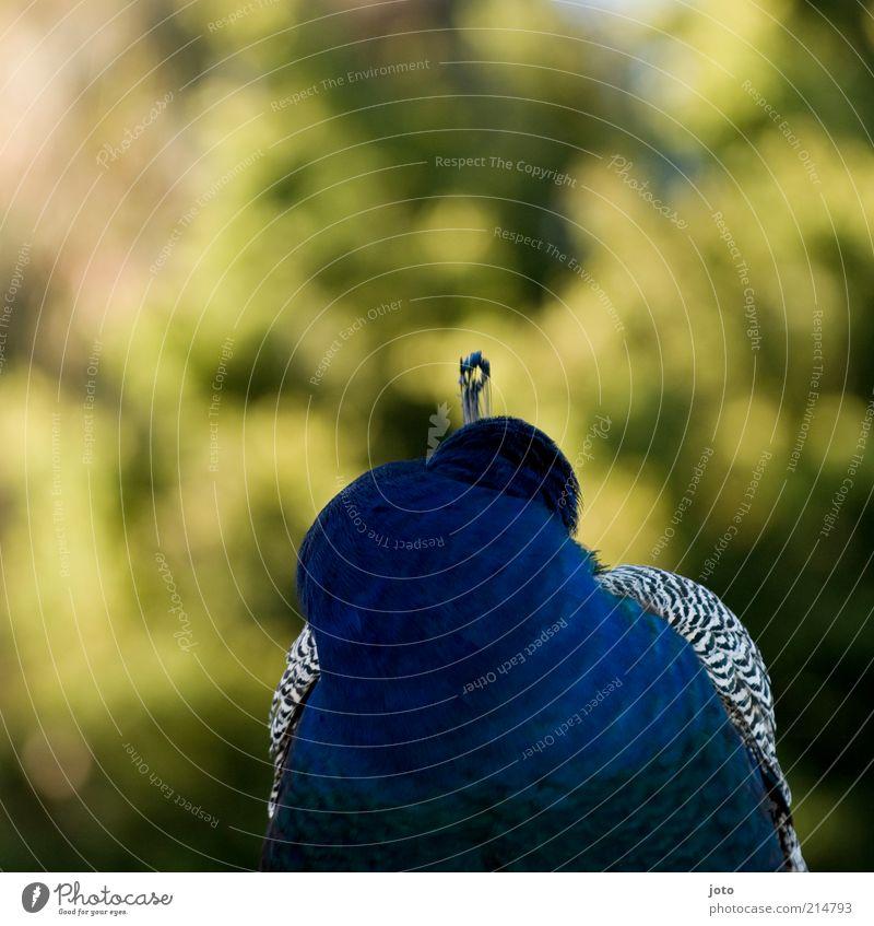 pavo cristatus Natur blau schön Tier Einsamkeit Traurigkeit Stil Vogel elegant ästhetisch einzigartig Schutz geheimnisvoll verstecken Geborgenheit Treue