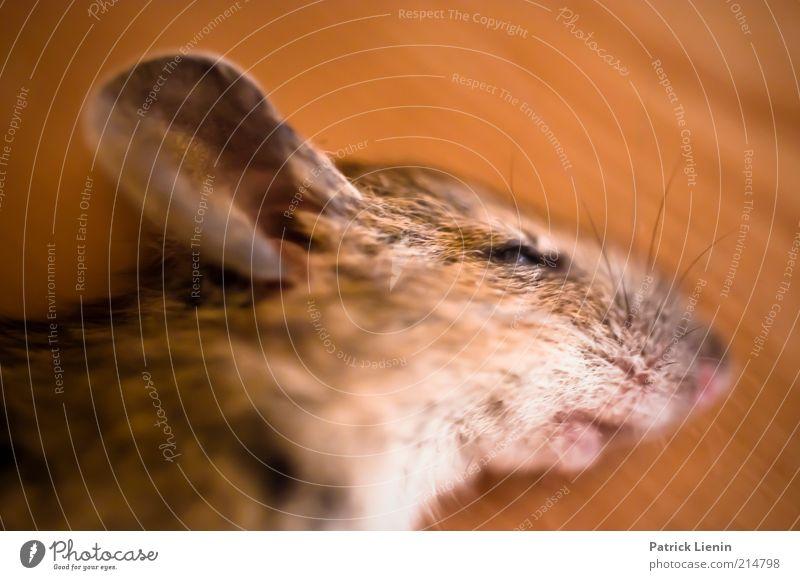 tote Maus Natur schön ruhig Auge Tier Tod Traurigkeit Umwelt Ohr Tiergesicht liegen Spitze zart Wildtier