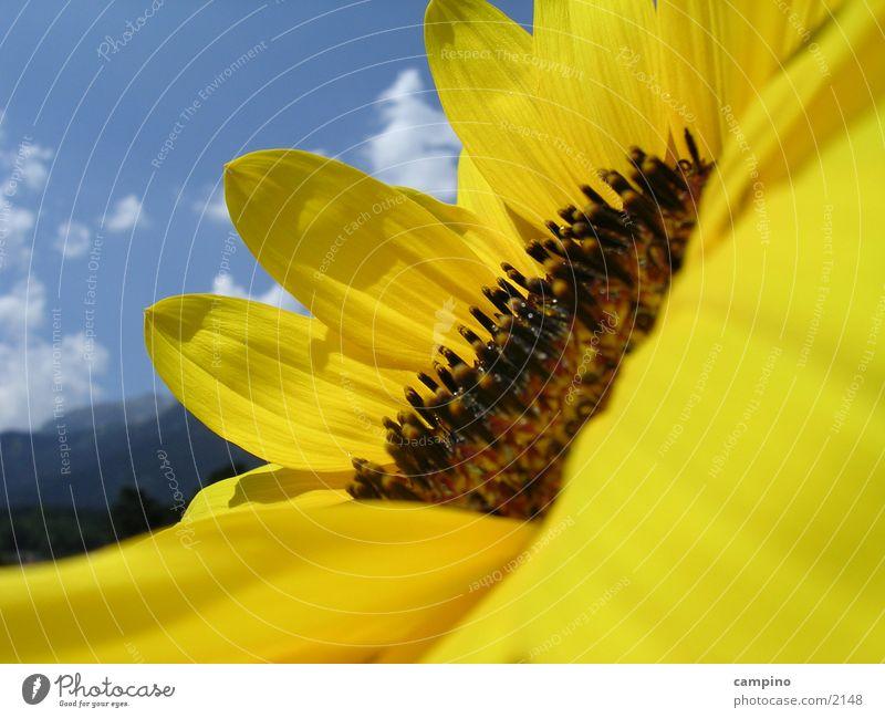 Sunflower Sonnenblume gelb Sommer Makroaufnahme
