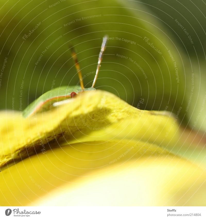 kleine Baumwanze versteckt sich auf dem Quittenblatt Wanze lustig Blick gelb beobachten warten Neugier Versteck insektenauge Tiergesicht grün Interesse Humor