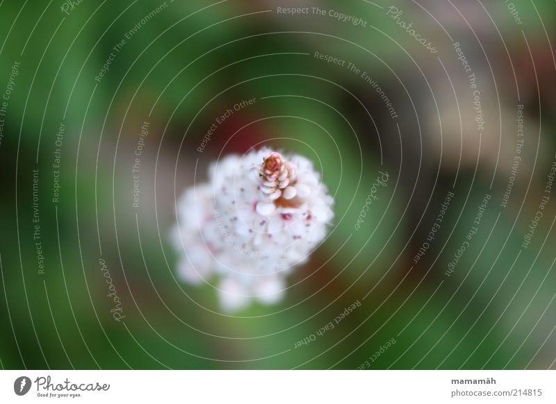 Blüte Blume weich zart Blühend Spitze grün weiß Detailaufnahme Natur Makroaufnahme Blütenblatt Unschärfe Hintergrund neutral Vogelperspektive 1