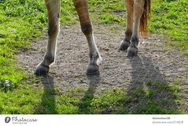 echt bodenständig... Natur Freude Tier Leben Wiese Gras Kraft Freizeit & Hobby elegant frei natürlich Pferd stehen Vertrauen stark Haustier