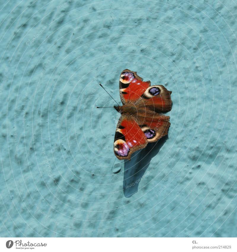 schmetterling des jahres 2009 Natur blau schön rot Sommer Tier Umwelt Wand Luft Fassade Fröhlichkeit Flügel Schönes Wetter Insekt Schmetterling Fühler