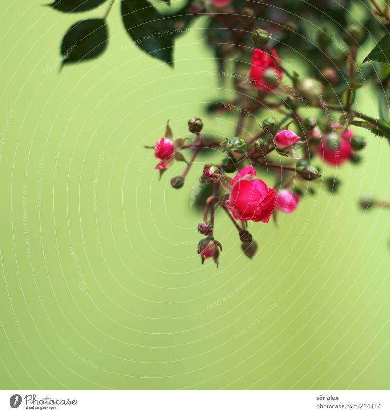 Röschen Pflanze Blume Rose Blatt Blüte Blühend Duft Kitsch schön grün rosa Romantik Farbe Vergänglichkeit Dekoration & Verzierung Tischdekoration Valentinstag