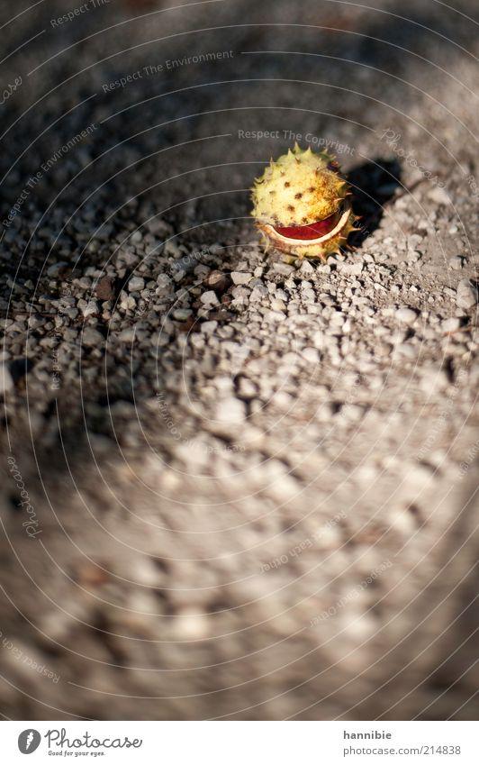 Bio - Packman Herbst Pflanze braun gelb grau Kastanie Kies Boden offen stachelig Baumfrucht Farbfoto Außenaufnahme Menschenleer Textfreiraum unten
