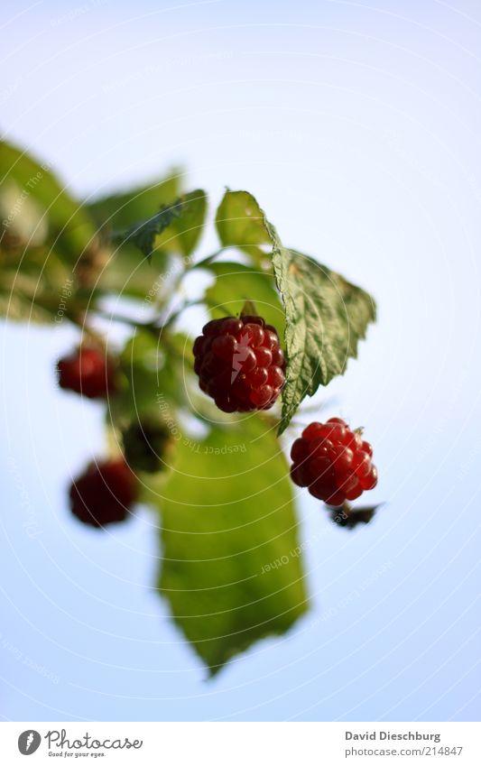 Fingerfood Lebensmittel Frucht Ernährung Bioprodukte Vegetarische Ernährung Natur Pflanze Sommer Blatt Nutzpflanze Wildpflanze blau grün rot Gesundheit lecker