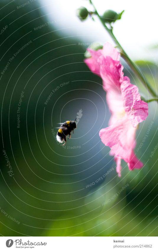 Kurzflügler Umwelt Natur Pflanze Sonnenlicht Sommer Schönes Wetter Wärme Blume Blüte Wildpflanze Garten Tier Wildtier Biene Flügel Insekt Hummel 1 fliegen grün