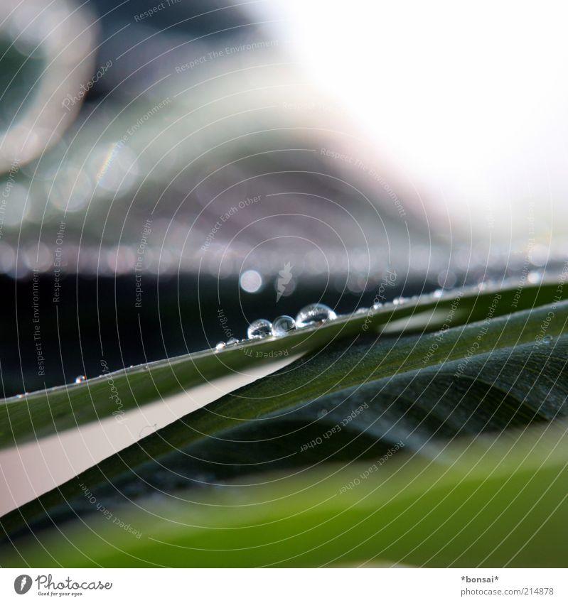 musa dwarf cavendish Natur grün Pflanze Blatt Leben glänzend nass Wassertropfen Energie frisch Wachstum nah Tropfen Blühend Flüssigkeit Tau