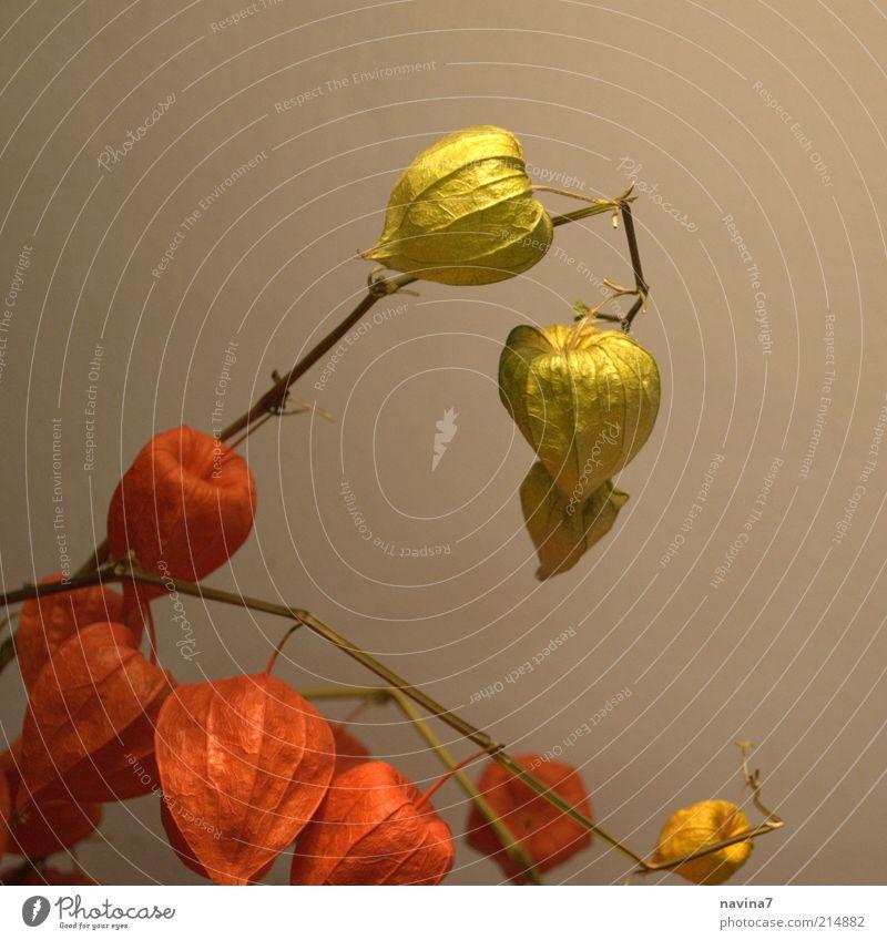 Herbstzauber Natur Pflanze Blume Blüte exotisch Dekoration & Verzierung Blühend dehydrieren ästhetisch außergewöhnlich elegant frisch schön trocken grün rot