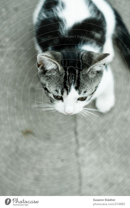 Kleines weiß schön Tier schwarz Wand Katze Mauer Tierjunges sitzen warten authentisch bedrohlich niedlich Spitze beobachten Tiergesicht