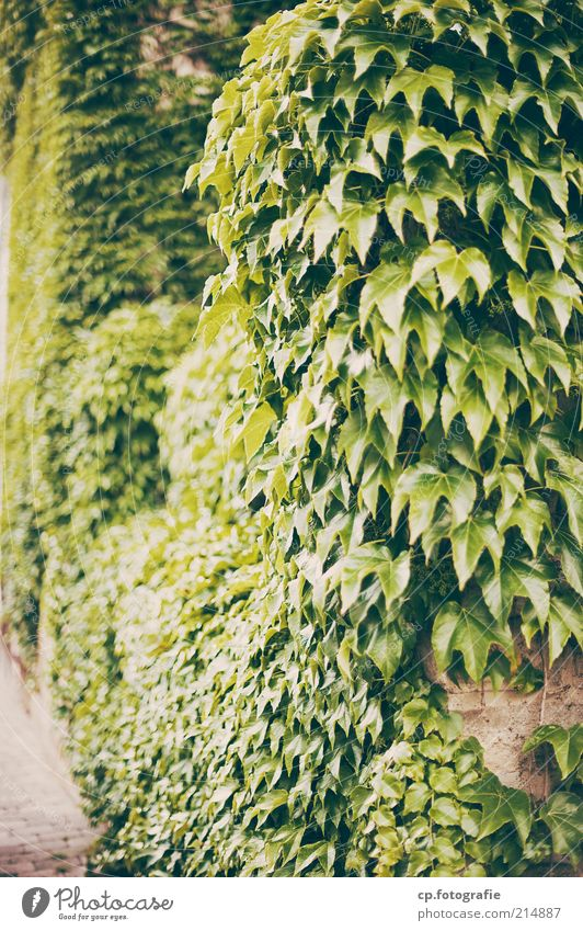 Übernahme Natur Pflanze Sommer Herbst Wand Garten Mauer Park Wachstum Wein wild natürlich Schönes Wetter Ranke Grünpflanze Kletterpflanzen