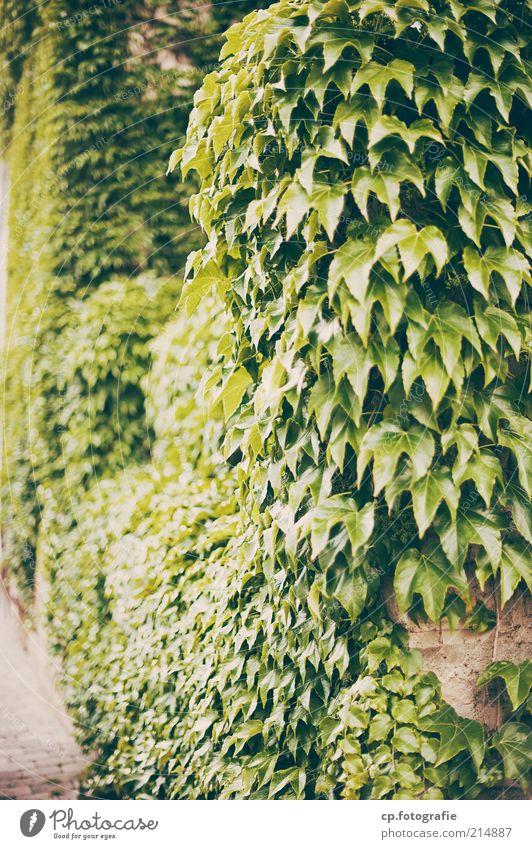 Übernahme Natur Pflanze Sonnenlicht Sommer Herbst Schönes Wetter Grünpflanze Kletterpflanzen Ranke Wein Wilder Wein Garten Park Menschenleer Mauer Wand