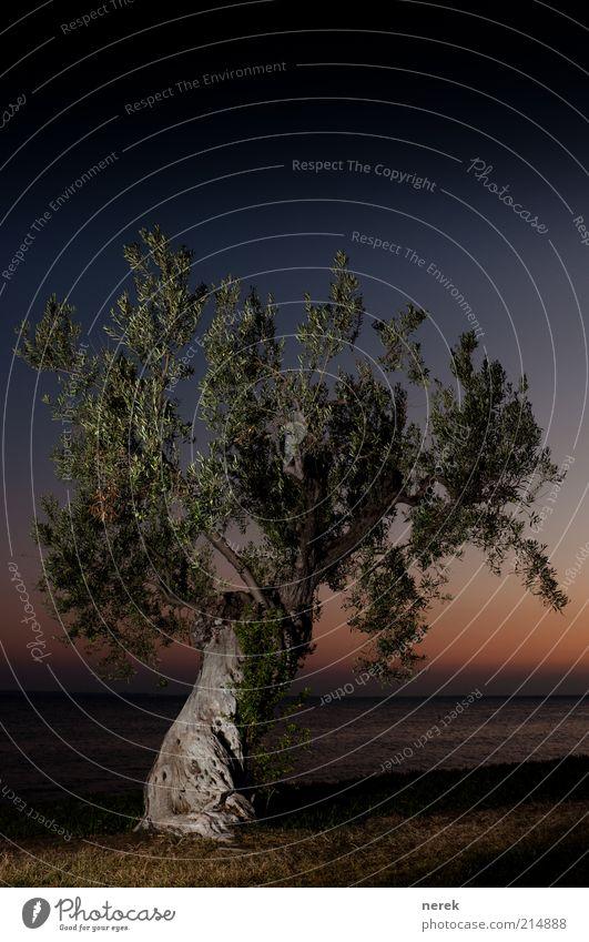 Still standing Wolkenloser Himmel Nachthimmel Sonnenaufgang Sonnenuntergang Schönes Wetter Baum Olivenbaum Meer Holz alt schön blau braun gelb Schutz