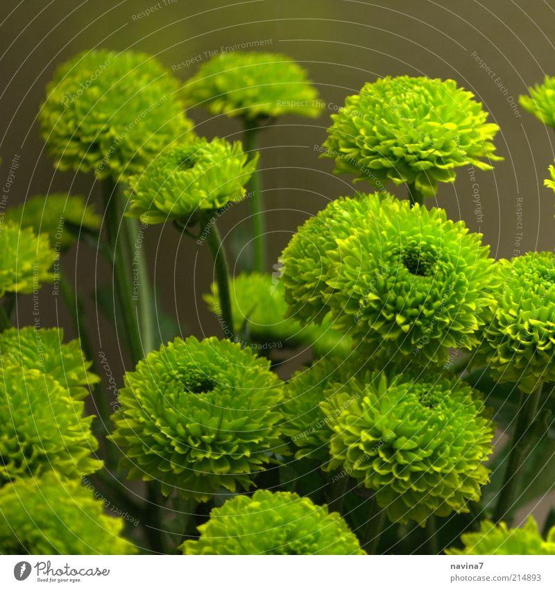 Es grünt so grün exotisch einrichten Natur Pflanze Blume Sträucher Blüte Grünpflanze frisch weich ruhig Stil Farbfoto Innenaufnahme Detailaufnahme Kunstlicht