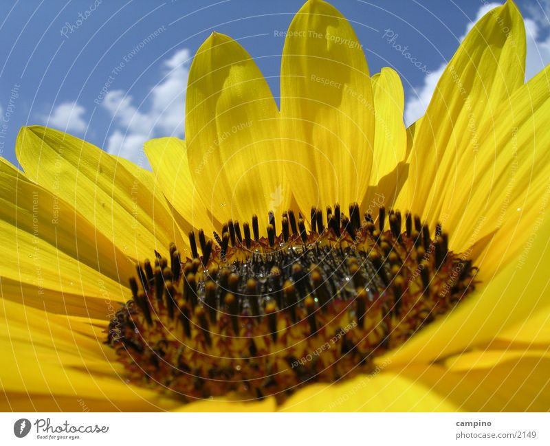 Sunflower2 Sonnenblume Sommer gelb Himmel