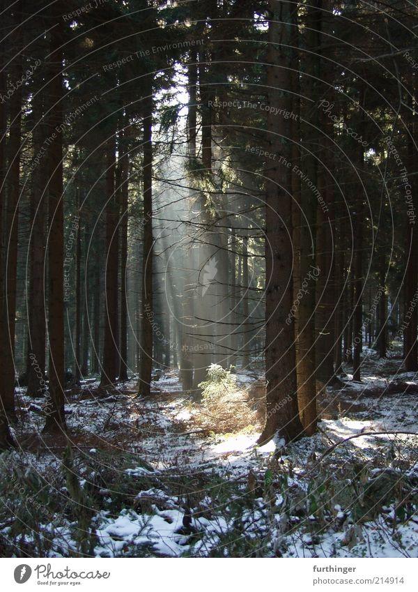 sonnenstrahlen Natur Baum Pflanze Winter Wald Schnee Holz Landschaft Stimmung Wetter Umwelt Klima Waldboden Fichte Lichteinfall Sonnenstrahlen