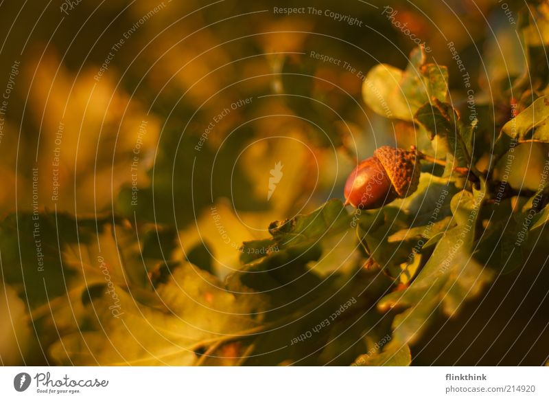 der Herbst kommt Natur Baum grün gelb braun hell Umwelt Frucht Wandel & Veränderung Schönes Wetter Eiche Eicheln Eichenblatt Eichenwald