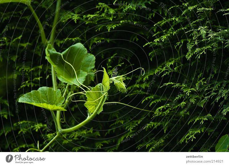 Kürbis vor Thuja Natur Pflanze Blatt dunkel Umwelt Wachstum Sträucher Wandel & Veränderung festhalten Hecke Ranke Grünpflanze September Ernährung Nutzpflanze