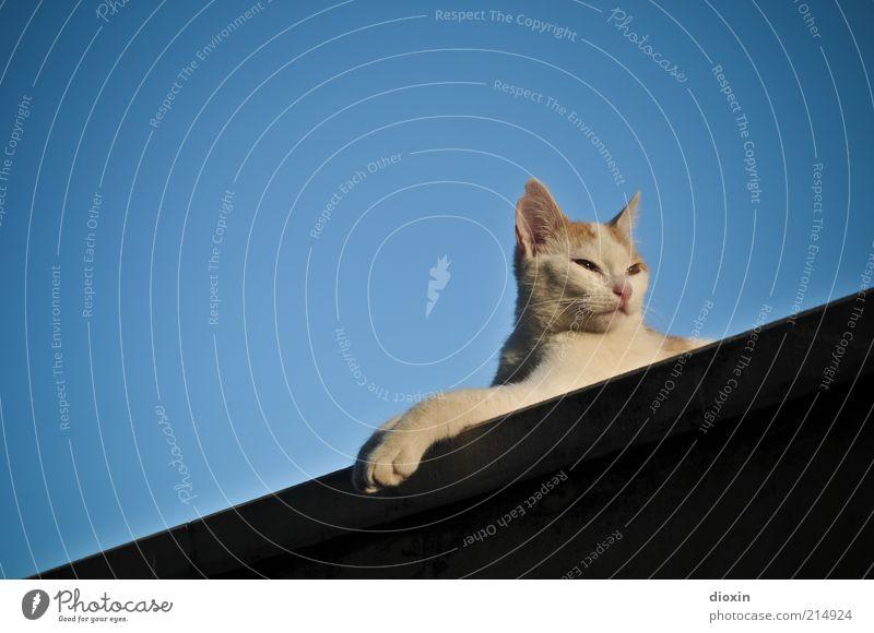 Sacha, where´s my Bloody Mouse? schön weiß Tier Erholung Katze Wärme Zufriedenheit elegant ästhetisch Dach Tiergesicht liegen Fell Gelassenheit Pfote Am Rand