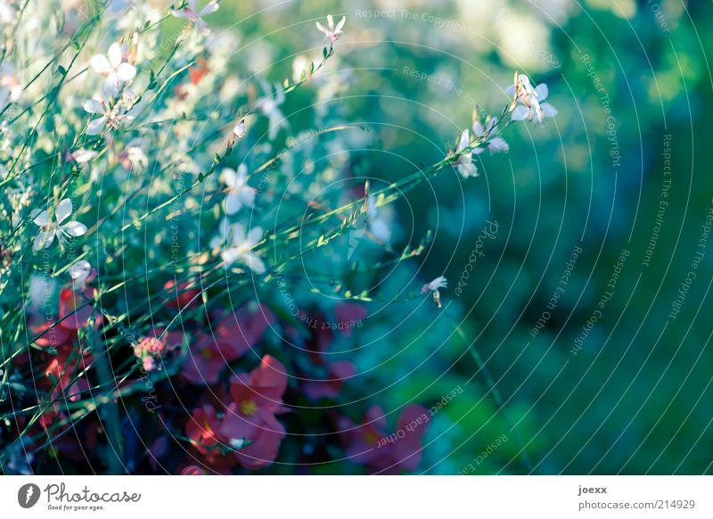 Vorwitzig Natur Pflanze Sommer Blume schön blau grün rot weiß Umwelt Farbfoto mehrfarbig Außenaufnahme Tag Schwache Tiefenschärfe Frühlingsgefühle Blühend Blüte