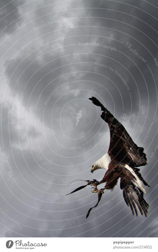 punktlandung Natur Himmel Gewitterwolken schlechtes Wetter Tier Wildtier Vogel Flügel Krallen 1 fliegen ästhetisch elegant Außenaufnahme Detailaufnahme