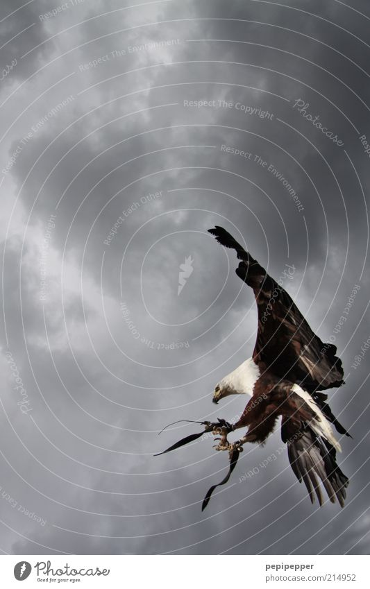 punktlandung Natur Himmel Tier Vogel elegant fliegen ästhetisch Flügel Wildtier Jagd Krallen Adler schlechtes Wetter Detailaufnahme Bewegung Wolken