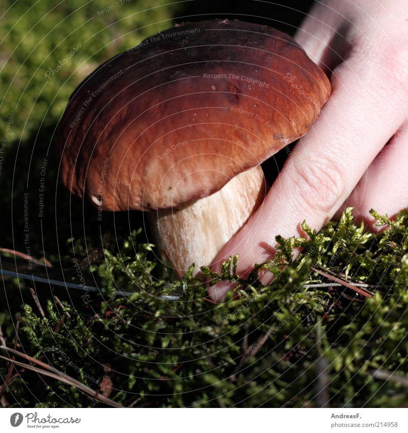 Steinpilz Natur Hand Pflanze Lebensmittel Herbst natürlich Finger Suche entdecken Bioprodukte Pilz Moos finden ansammeln Waldboden Pilzhut
