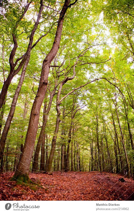 Herbstwald Umwelt Natur Landschaft Pflanze Wetter Schönes Wetter Baum Grünpflanze Wildpflanze Wald Urwald ästhetisch Herbstlaub Baumstamm Baumkrone Wege & Pfade