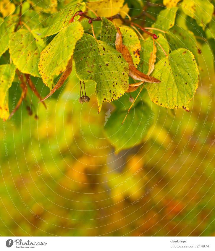 herbst is Natur Baum grün gelb Herbst braun gold Herbstlaub Zweige u. Äste Herbstfärbung Herbstwetter