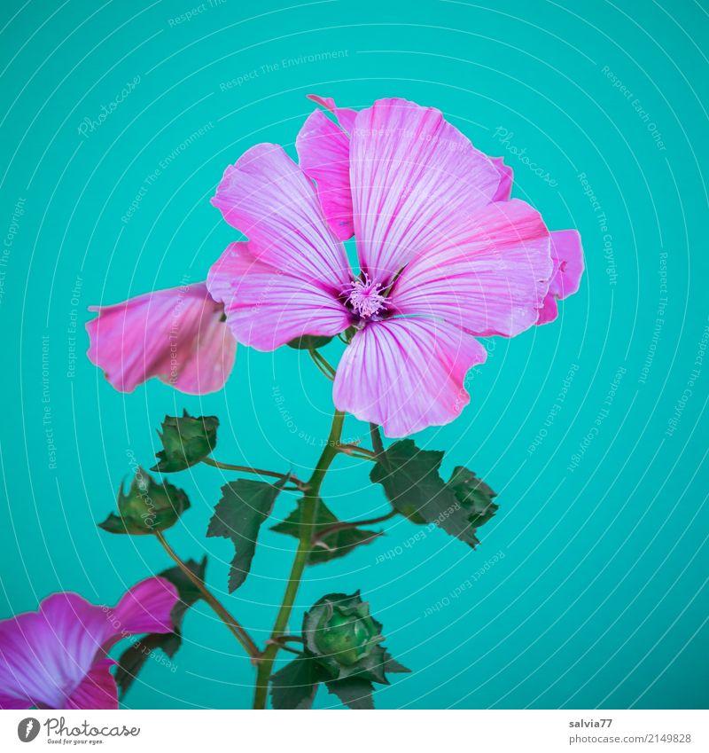 rosa Pracht Natur Pflanze Sommer Blume Blüte Wildpflanze Malvengewächse Garten Blühend ästhetisch schön weich blau grün Duft Farbe zart Blütenknospen Kontrast
