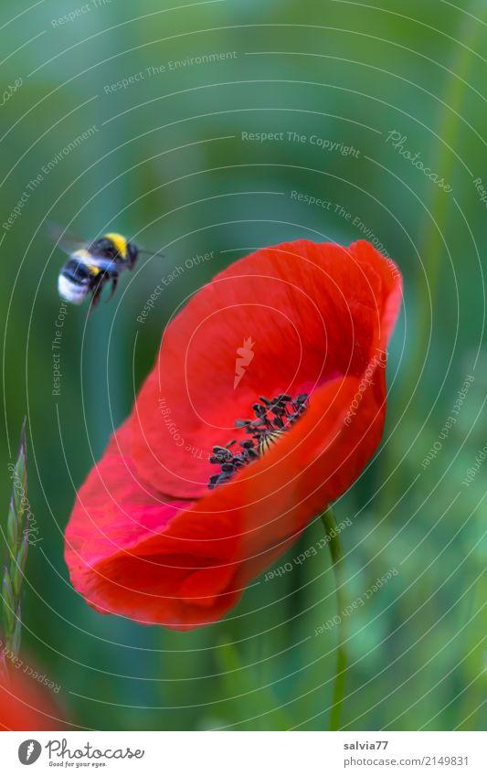 Flug zum Mohn Natur Pflanze Tier Sommer Blume Blüte Klatschmohn Feld Hummel Erdhummel Insekt 1 Blühend fliegen grün rot Ziel Farbfoto Nahaufnahme Menschenleer