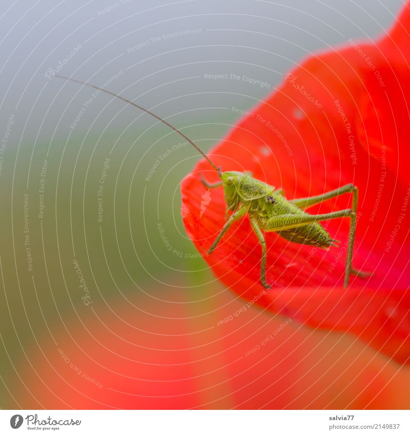 Guten Appetit Natur Himmel Sommer Blume Blüte Klatschmohn Tier Heuschrecke Langfühlerschrecke Insekt 1 Fressen genießen blau grün rot Fühler lecker Farbfoto