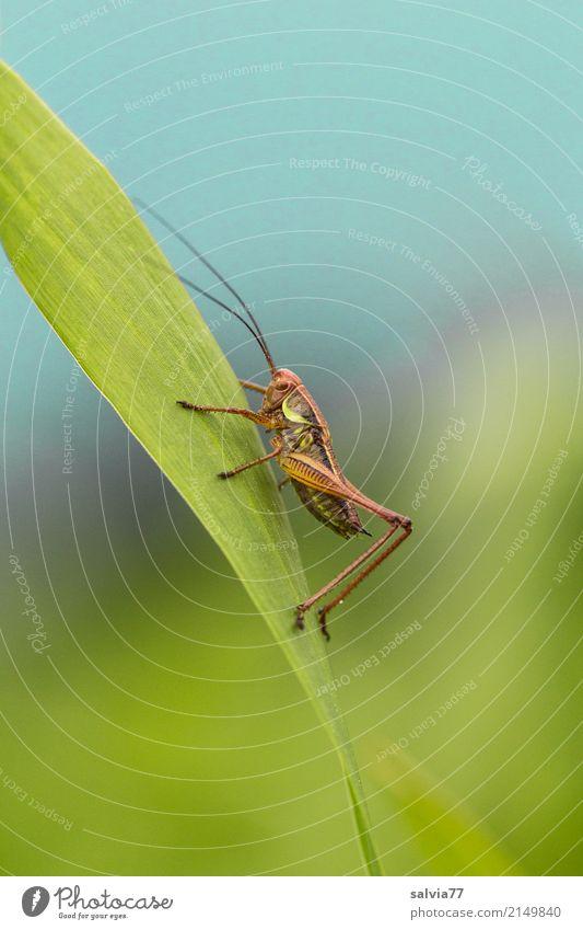 nach oben Umwelt Natur Himmel Sommer Pflanze Blatt Feld Tier Insekt Heuschrecke Langfühlerschrecke 1 krabbeln blau grün Ziel Fühler Antenne aufwärts festhalten