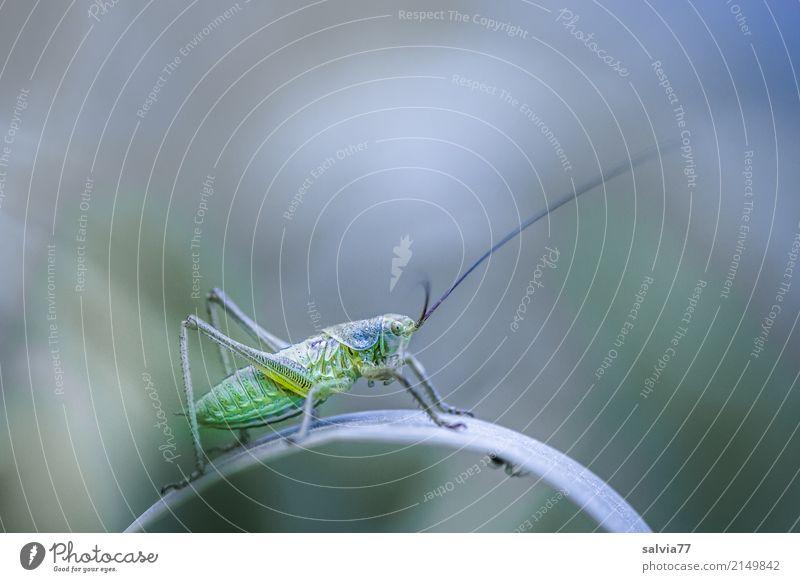 Wo ist die Spinne? Umwelt Natur Sommer Pflanze Gras Blatt Feld Tier Heuschrecke Langfühlerschrecke Insekt 1 entdecken krabbeln grau grün Wachsamkeit einzigartig