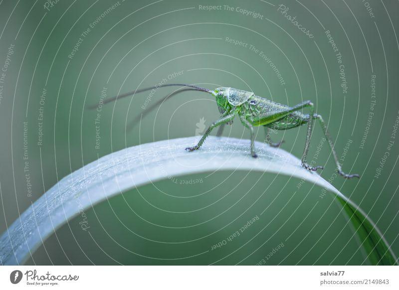 sie hat den Bogen raus Umwelt Natur Tier Sommer Pflanze Blatt Wiese Feld Insekt Heuschrecke Langfühlerschrecke 1 genießen krabbeln oben grün ästhetisch
